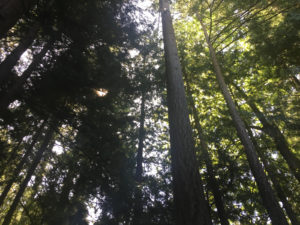 Pacific Northwest Tree Canopy